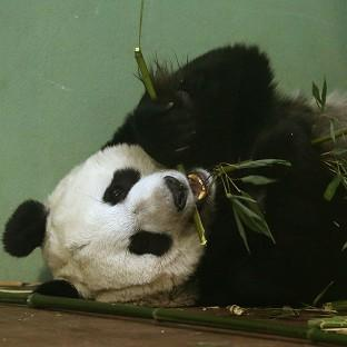 Experts at Edinburgh Zoo said Tian Tian should have gone into labour over the weekend but hormone tests suggested 'something might be amiss'
